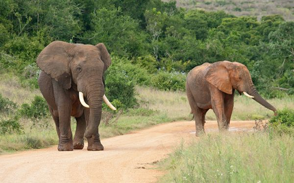 African Elephant, Kruger National Park